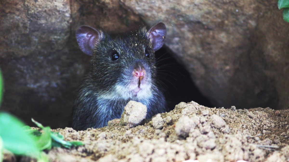5 important tips for staying safe when cleaning areas with rodents